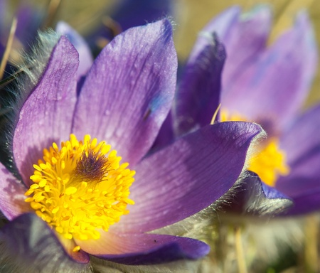 flower of pasqueflower Stock Photo - 12946206