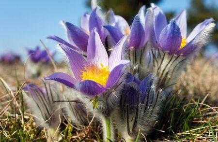pasqueflower: flower of pasqueflower