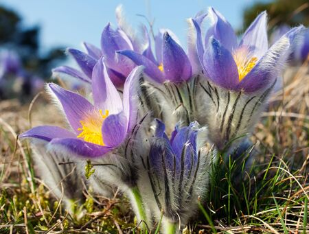 flower of pasqueflower  Stock Photo - 12946245