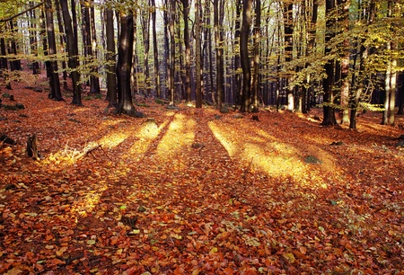 fagaceae: view from autumnal hardwood forest - european beechs (fagus sylvatica)