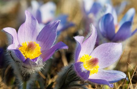 pasqueflower: flower of pasqueflower