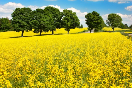napus: field of rapeseed - brassica napus  Stock Photo