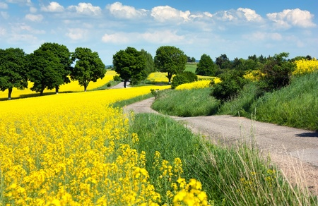 field of rapeseed - brassica napus  photo