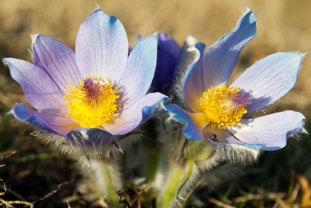 flower of pasqueflower photo