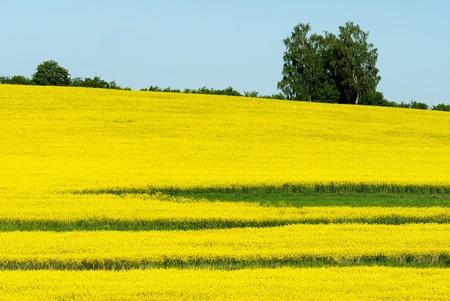 napus: field of rapeseed Stock Photo