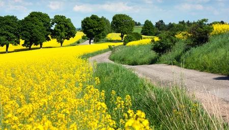 field of rapeseed - brassica napus  photo