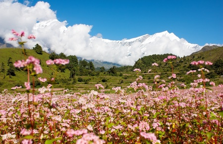 view from annapurna himal to dhaulagiri himal with buckwheat field  photo