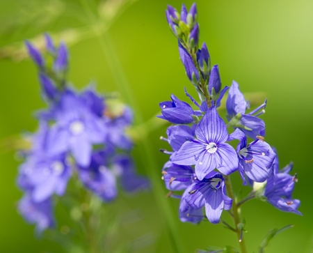 blossom time: veronica officinalis flower