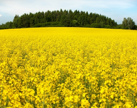 coleseed: field of rapeseed plant for green energy