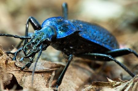 ground beetle: Ground beetle - Carabus intricatus