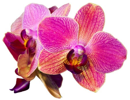 red orchid: pink orchid isolated on the white background