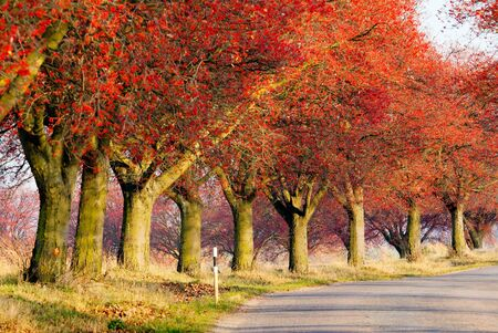 sorb: autumnal view of alley of chokeberry