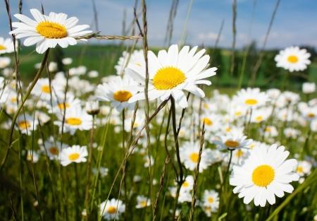 daisy on meadow photo
