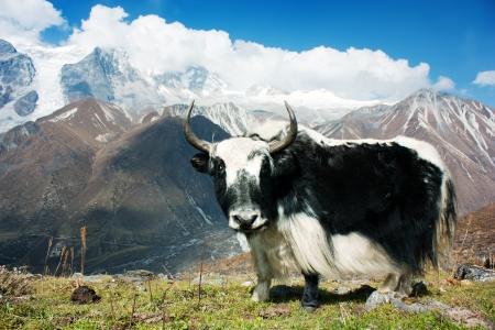 yak: Yak - bos grunniens or bos mutus - in Langtang valley - Nepal