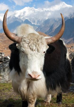 Yak - bos grunniens or bos mutus - in Langtang valley with Langshisha Ri mout - Nepal  photo