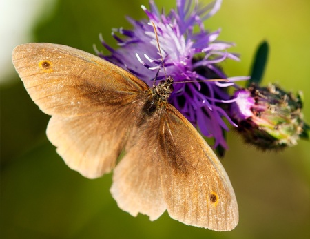lepidopteran: Brown butterfly polinated violet flower