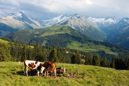 jersey cattle: group of cows  bos primigenius taurus  in alps on pasture