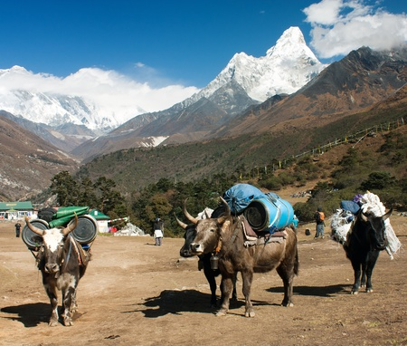 yaks with goods on the way to Everest base camp and Ama Dablam, Lhotse, Nuptse and top of Everest  photo