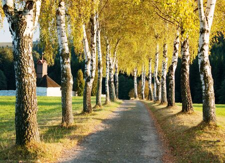 european white birch: alley of birch trees and way to cemetery