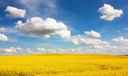 field of rapeseed with beautiful cloud - plant for green energy Stock Photo - 15305486