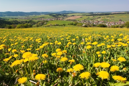 spring time and meadow with common dandelion  taraxacum  - Carpathian mountains - Horni Lidec village, Moravia, Czech Republic  photo
