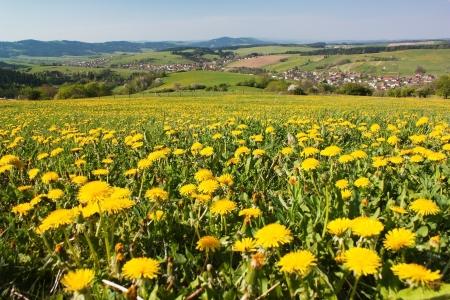 grassfield: spring time and meadow with common dandelion  taraxacum  - Carpathian mountains - Horni Lidec village, Moravia, Czech Republic