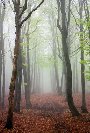 broadleaved tree: springy view from foggy european beech wood