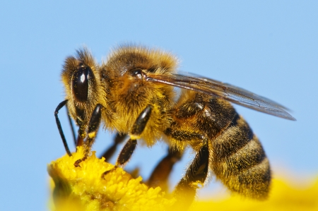 hive: honeybee pollinated of yellow flower