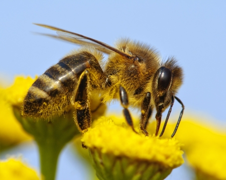 bees: honeybee pollinated of yellow flower
