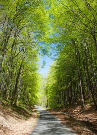 broadleaved tree: springy view of forest road and green forest