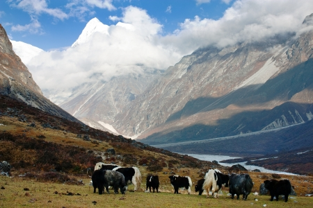 Yaks in Langtang valley with Langshisha Ri mout - Nepal Stock Photo - 17161921