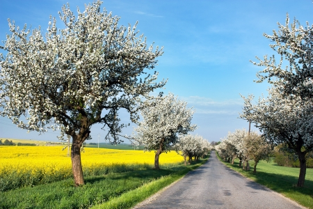 spring view of road with alley of apple ree and rapeseed field  photo