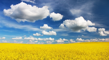 field of rapeseed with beautiful cloud - plant for green energy  photo