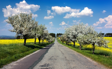 springtime beautiful view of road, alley of apple tree, field of rapeseed and sky with clouds photo