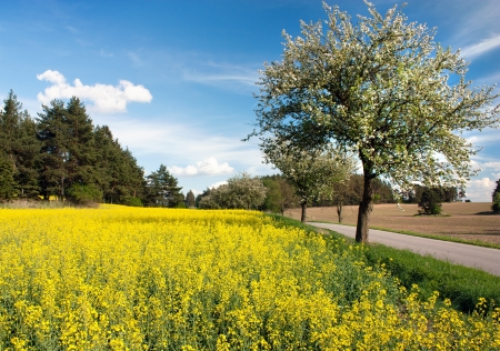 springtime beautiful view of road, alley of apple tree, field of rapeseed and sky with couds  photo