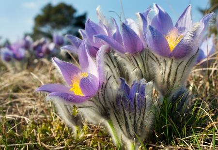flower of pasqueflower Stock Photo - 18654273