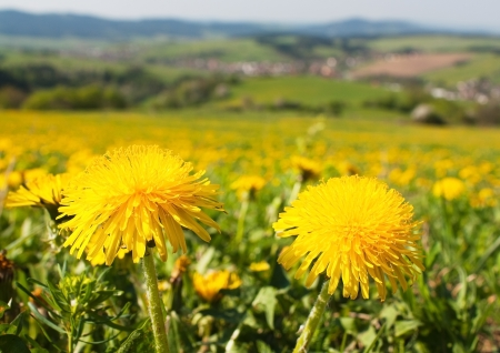 spring time and meadow with common dandelion  taraxacum   photo