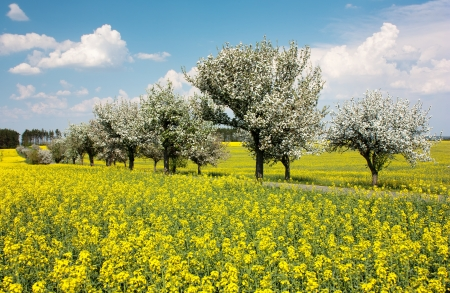 springtime beautiful view of rapeseed field, alley of apple tree and sky with cloud photo