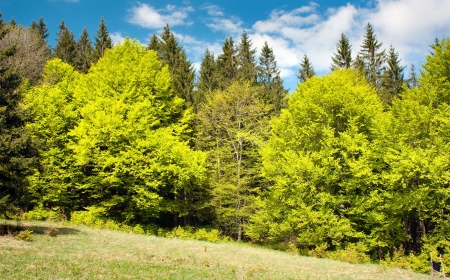 springy: springy green wood - beautiful european beechs  Stock Photo