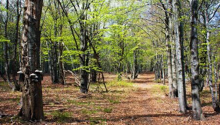 springy: springy view from european beech wood with pathway