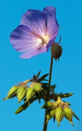 cranesbill: flower of medadow cranesbill - geranium pratense
