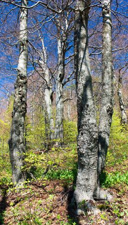 broad leaved tree: springy view from european beech wood with pathway  Stock Photo