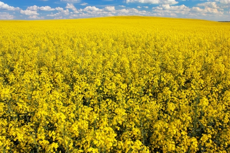 coleseed: field of rapeseed with beautiful cloud - plant for green energy