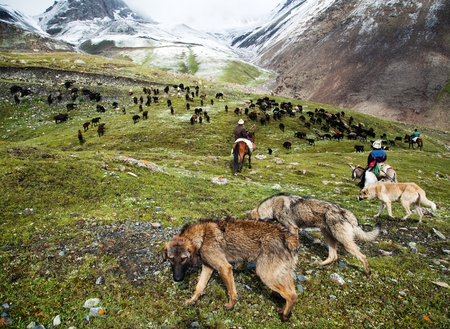 stockriders with dogs and flock in alay mountains