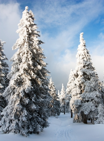 wintry view of snowy forest on mountain  photo