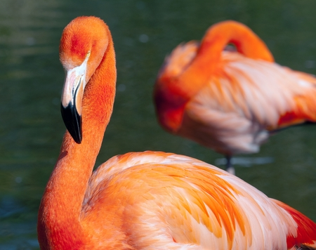 American Flamingo - Phoenicopterus ruber - beautiful red colored bird photo