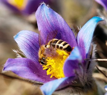 pasqueflower: honeybee on pasqueflower