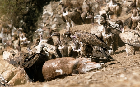 carrion: Old World Vultures on carrion of horse