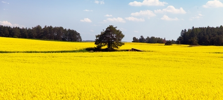 coleseed: field of rapeseed - plant for green energy Stock Photo
