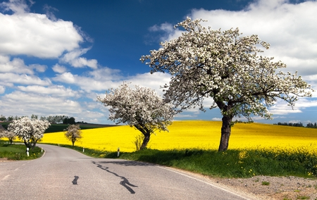 coleseed: spring view of road with alley of apple ree and rapeseed field